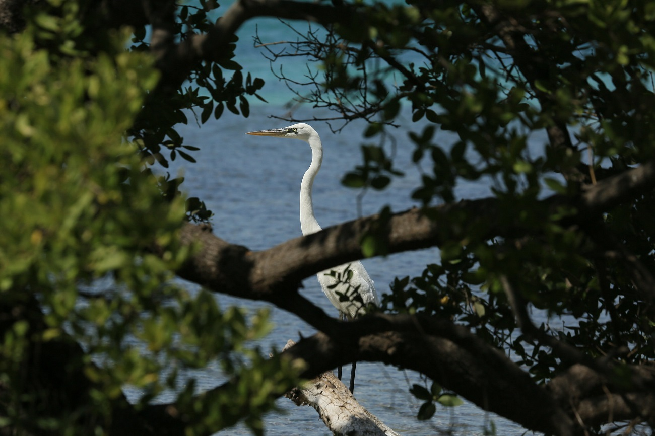 White Crane At Biscayne National Park